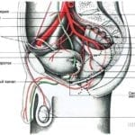 половые артерии